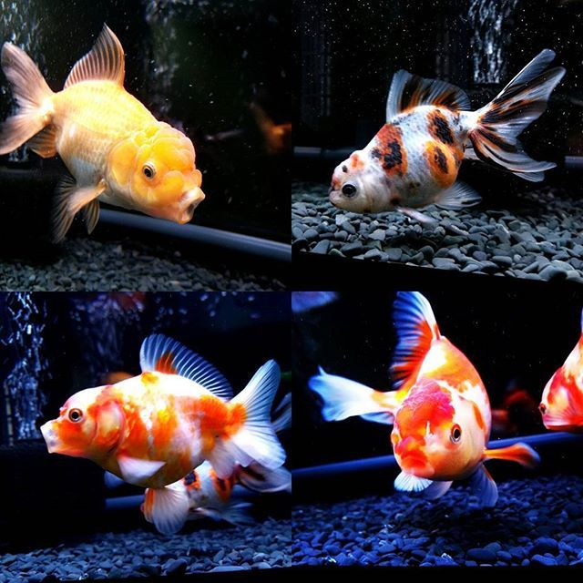 【carpe_diem_.w】さんのInstagramをピンしています。 《個性派揃いでカッコいい子達✨絶好調で絶賛成長中🎶病気や転覆はまず起きないかなと自信がついてきました✨ #金魚#アクアリウム#水槽#日本オランダ獅子頭 #東錦#桜東ショートテール#ジャンボ獅子頭#鹿児島#japan#goldfish#nishiki#aquarium#japanesestyle》