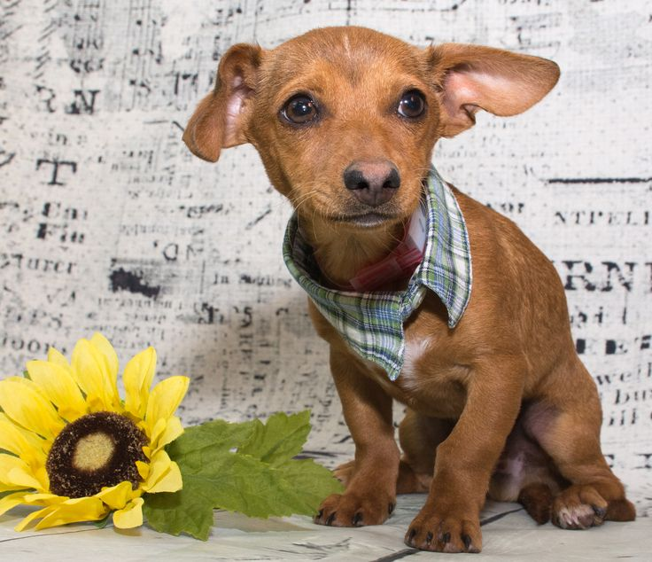 Chiweenie dog for Adoption in Denver, CO. ADN-492156 on PuppyFinder.com Gender: Male. Age: Baby