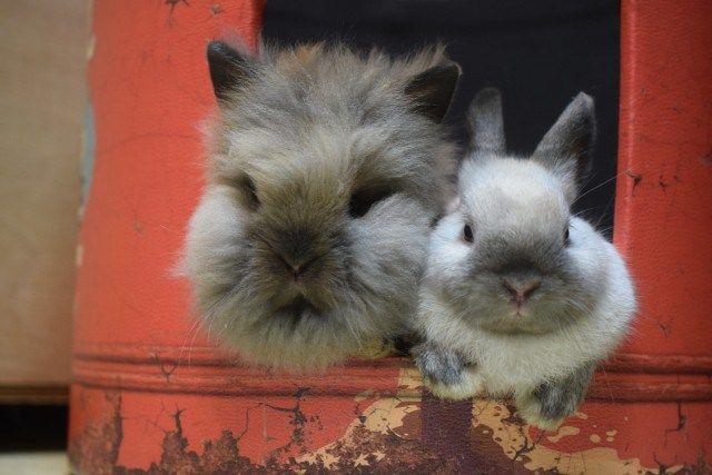 ライオンヘッド ネザー Rabbits ラビッツ うさぎブリーダー専門店 大阪 うさぎ 小動物 ネザー