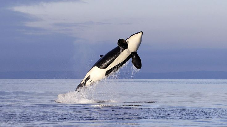 A female orca breaching in Puget Sound west of Seattle