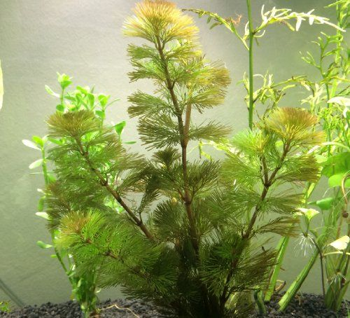 92 best images about aquatic plants accesories on for Plants that live in a pond