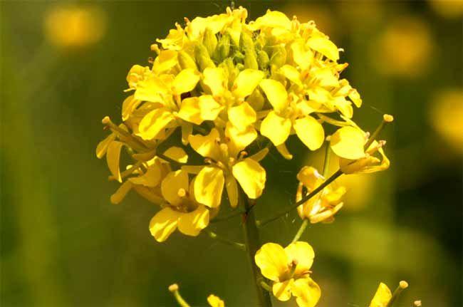 Kräuter-Steckbrief Barbarakraut (Barbarea vulgaris) - Eigenschaften und Verwendung
