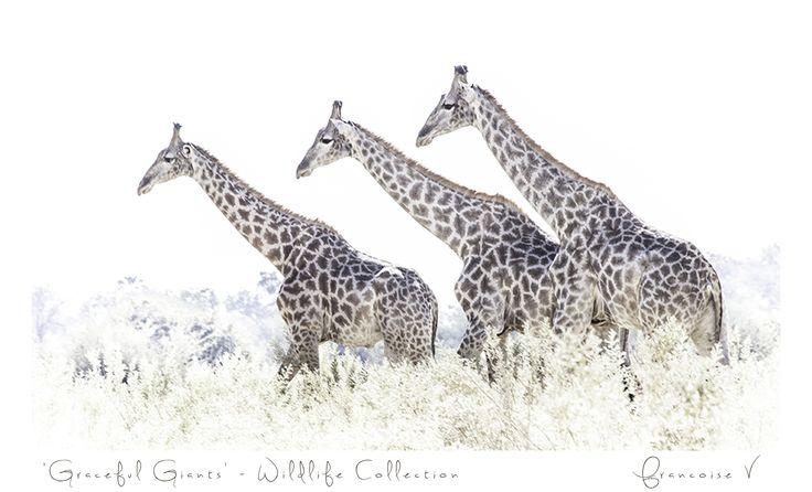 """Graceful Giants"" {Wildlife Collection} by Francoise V"