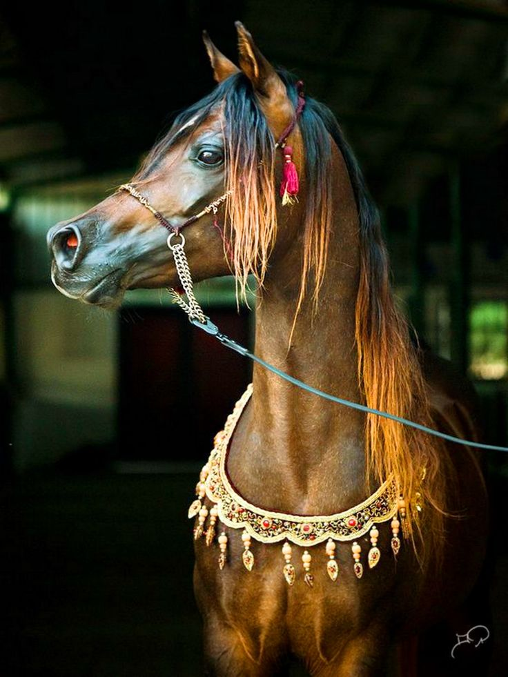 Arabians. So regal. So beautiful. Perfection