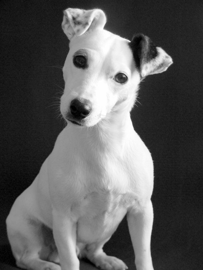 """What did you say?!"" by Joann Verderosa, via 500px. Russell Terrier"