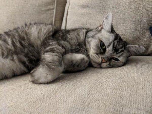 American Shorthair Cat For Adoption In Denver Colorado Mimi In Denver Colorado American Shorthair Cat Cat Adoption American Shorthair