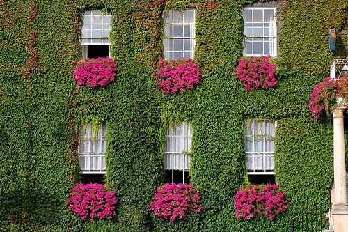 Windows, vine, flowers........yum: Pink Flower, Windowbox, Green Wall, Color, Beautiful, Gardens, Ivy, Flower Boxes, Window Boxes
