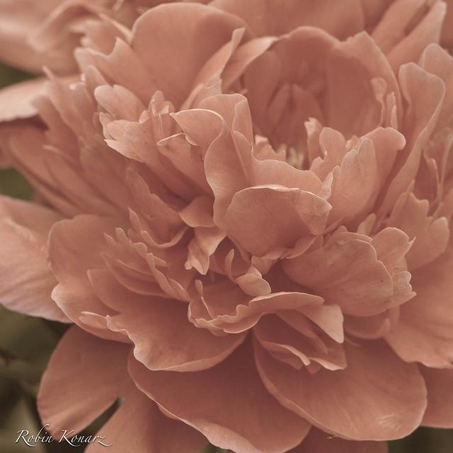 Peony PoseFloral Delight, 1970 Cars, Pretty Pretty, Peonies Poses, Plantas Flor, Pretty Flower