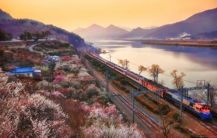 Plum Blossom Railroad, Soonmaewon in Korea.  by SEO