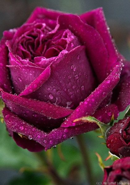 'The Prince ' Rose Photo