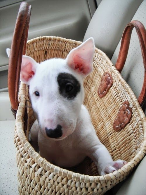Bull Terrier Pup in a Basket, ready for the weekend.