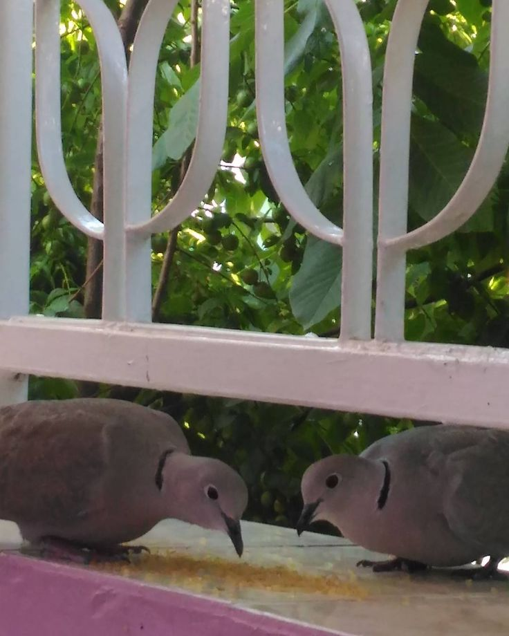 Günaydın��yeni haftaya merhaba güzel birgün olsun herkese iyi günler��������������#günaydın #güzel #birgün #olsun #kuş #kuşlar #kumru #dogalyasam #doğa #bahçe #balkon #bird #lifeandgarden #garden #yeşillik #ağaçlar #anıyakala #hayatakerken #benimgözümden #gününkaresi #gününfotosu #doğayısev http://turkrazzi.com/ipost/1515019995284126063/?code=BUGbqimhjlv