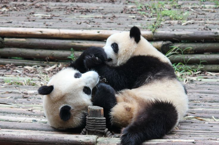 These two panda cubs were very rambunctious! Adults are mostly slow moving and have limited social interactions - but cubs are very playful. I watched these two wrestle and play with each other for half an hour...