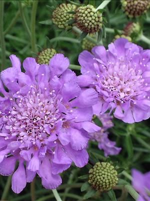 Scabiosa 'Butterfly Blue' (Pincushion Flower)  This 2000 Perennial Plant of the Year sports lacy lavender blue flowers 2″ in diameter.  This selection will bloom the entire season if deadheaded and boasts perhaps to most consistent color of any perennial on the market.