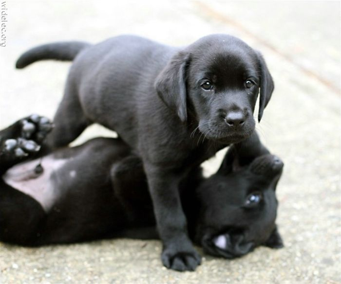 cute little black labs