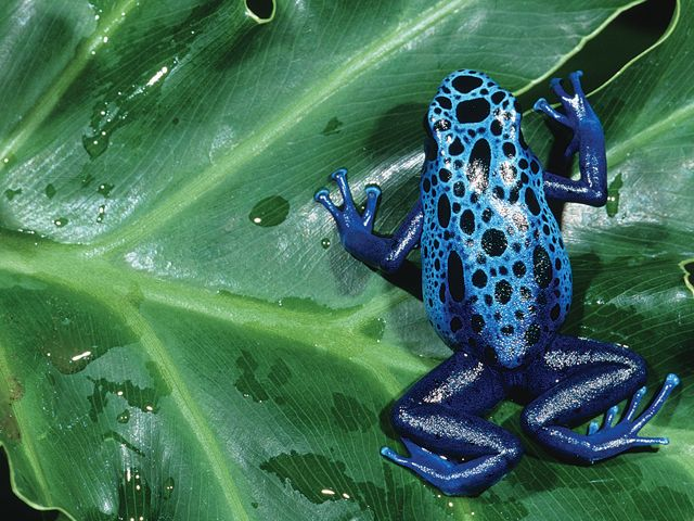 As their name implies, Blue Poison Dart Frogs can release toxins from the skin that are distasteful and potentially lethal to would-be predators.