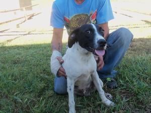 Gallagher is an adoptable Pointer Dog in Jasper, TX. This beautiful bird dog is seven months old and smart as can be! Gallagher is very trainable due to his age. He is very playful and loves kids! Gal...