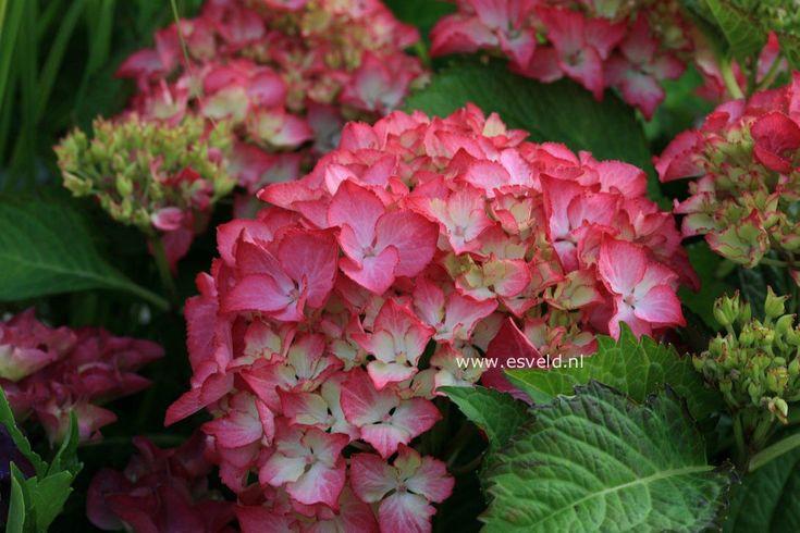 Hydrangea Macrophylla Selma' | Hydrangea macrophylla 'Selma' bolbloemige hortensia met rode rand ...