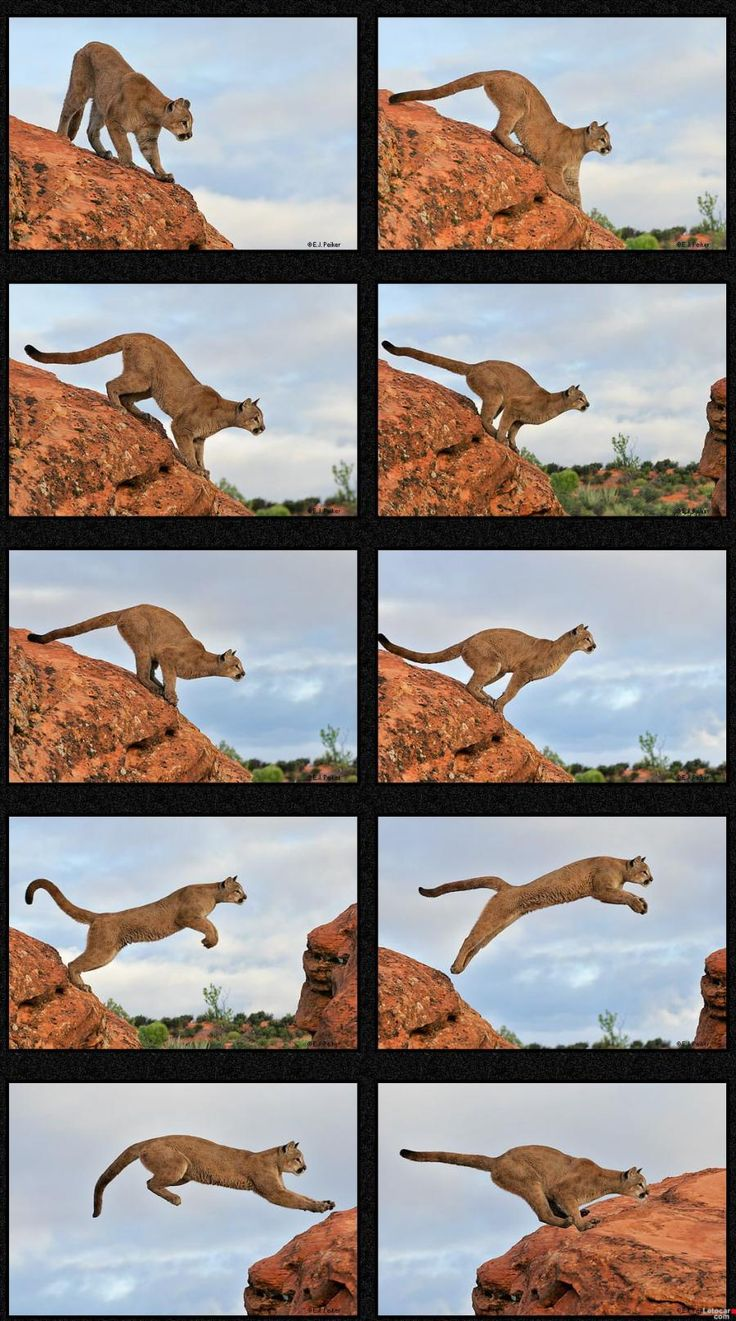 Mountain Lion jumping, I taught him all he knows...