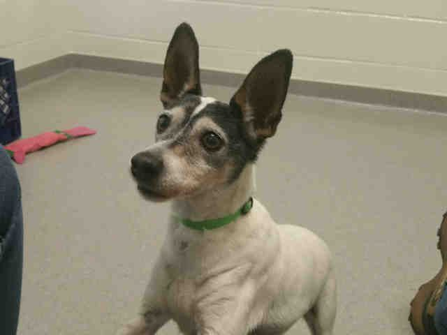 Auburn Ca Arrow Id A179555 My Name Is Arrow I Am A Neutered Male White And Tricolor Rat Terrier The She Animal Shelter Humane Society Dogs
