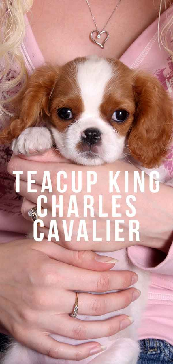 Teacup King Charles Cavalier Your Guide To The Mini Cavalier In 2020 King Charles Cavalier Spaniel Puppy King Charles Dog Cavalier King Charles Spaniel Blenheim
