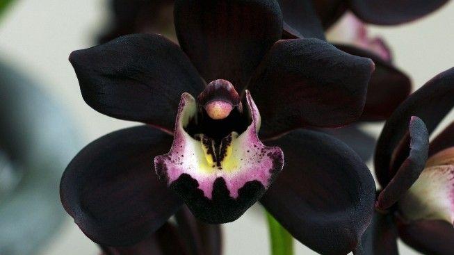 Cultivo y cuidados de la orquídea negra