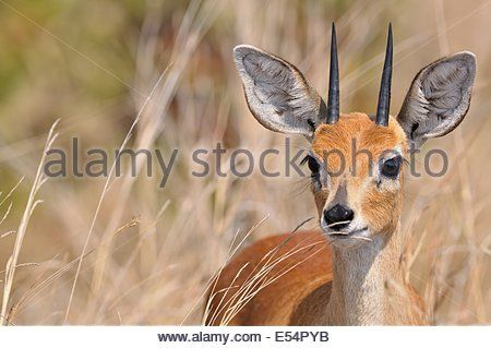 steenbok-raphicerus-campestris-male-in-tall-grass-kruger-national-e54pyb.jpg (450×319)