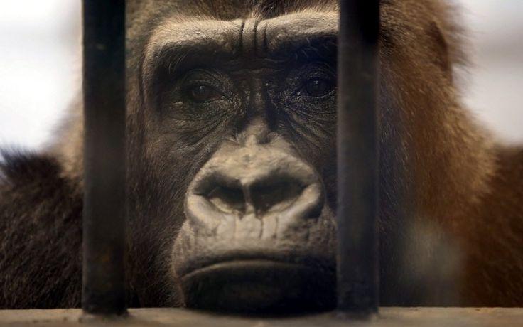 """Gorila chamado """"Bua Noi"""" olha através das barras de sua jaula no zoológico Pata, localizado no último andar de um shopping center em Bancoc (Tailândia), nesta terça-feira (17). Ativistas dos direitos dos animais recolheram mais de 35 mil assinaturas para o libertar o gorila, que foi comprado e tem sido mantido em cativeiro por mais de 27 anos. O estabelecimento se recusou a libertar """"Bua Noi"""""""