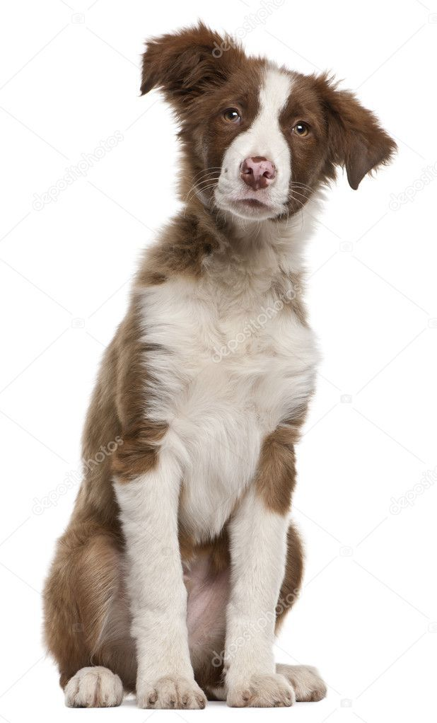 Border Collie Puppy 5 Months Old Sitting In Front Of White