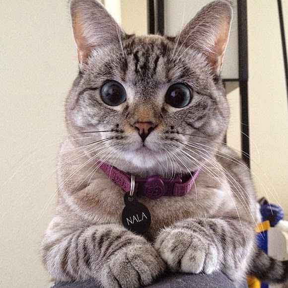 Nala, an adorable cross-eyed cat from Los Angeles, California, is famous for her amusing antics on Facebook. There's a whole host of Nala merchandise.