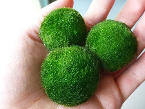 3 giant marimo moss ball 1 5 inch to 2 inch one small for Moss balls for fish tanks