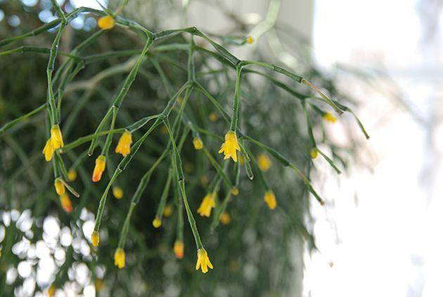 Tulitikkukaktus kukassa