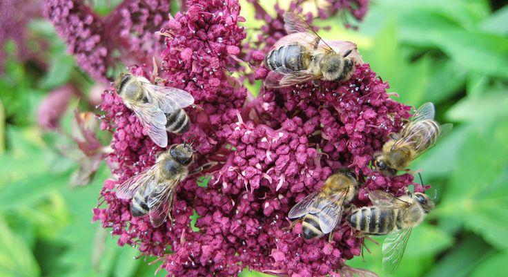 Bijensterfte in winter 2012-2013 nergens in Europa zo hoog als in België