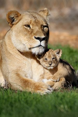 African lion 'Tiombe' with her 6-week-old cubs 6 Jun 2013