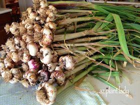 A Tiny Investment And A Huge Harvest   Ramblings From A Desert Garden.  Desert Gardening ...