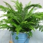 The Boston fern plant requires plenty of humidity and low light to prevent the fern from turning brown. If you have a Boston fern with brown leaves, it might be cultural or simply the wrong site for the plant. Learn more in this article.