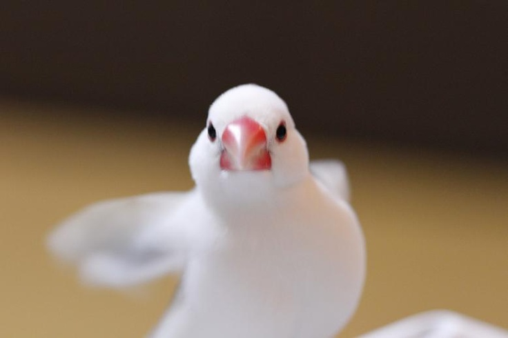 クリオネ文鳥