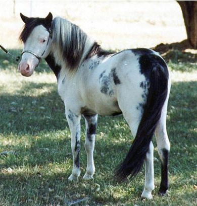 Pinto miniature horse - Therapy Horses of Gentle Carousel Mares and Stallions                                                                                                                                                                                 More