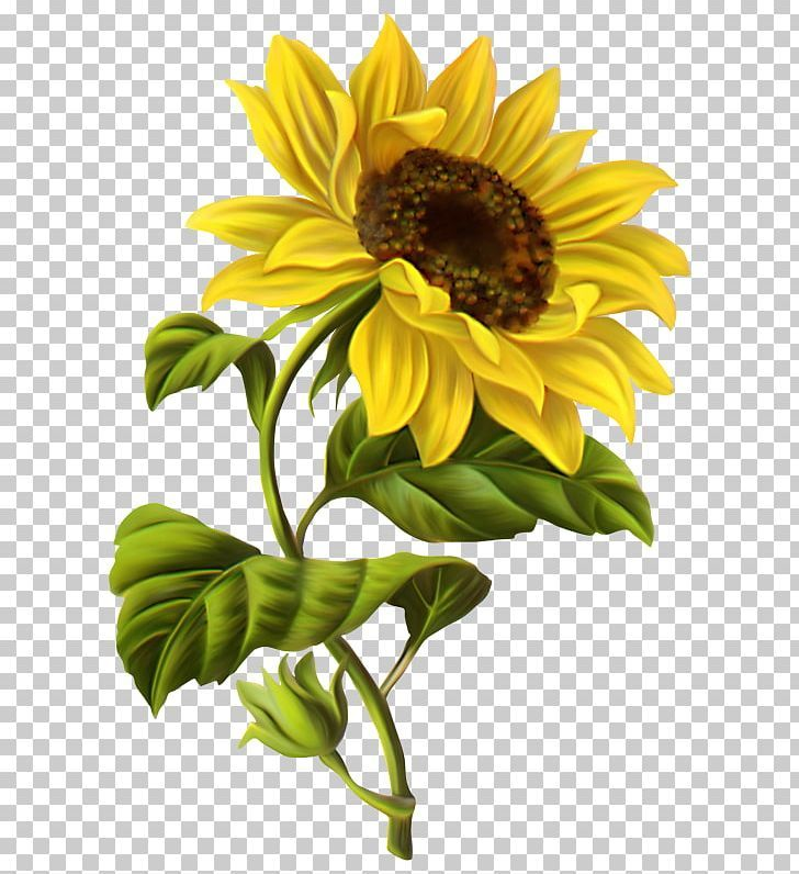 Common Sunflower Drawing Watercolor Painting Png Art Botanical