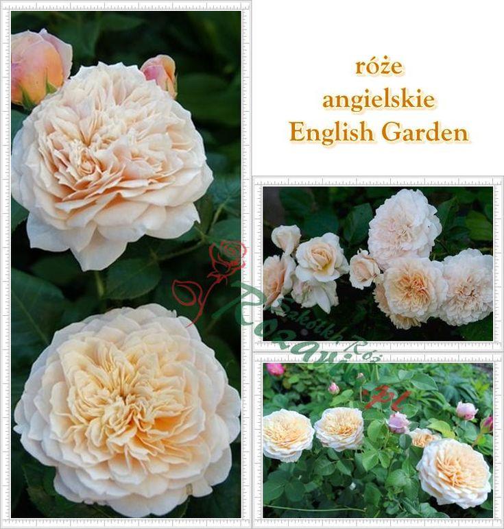róże angielskie English Garden