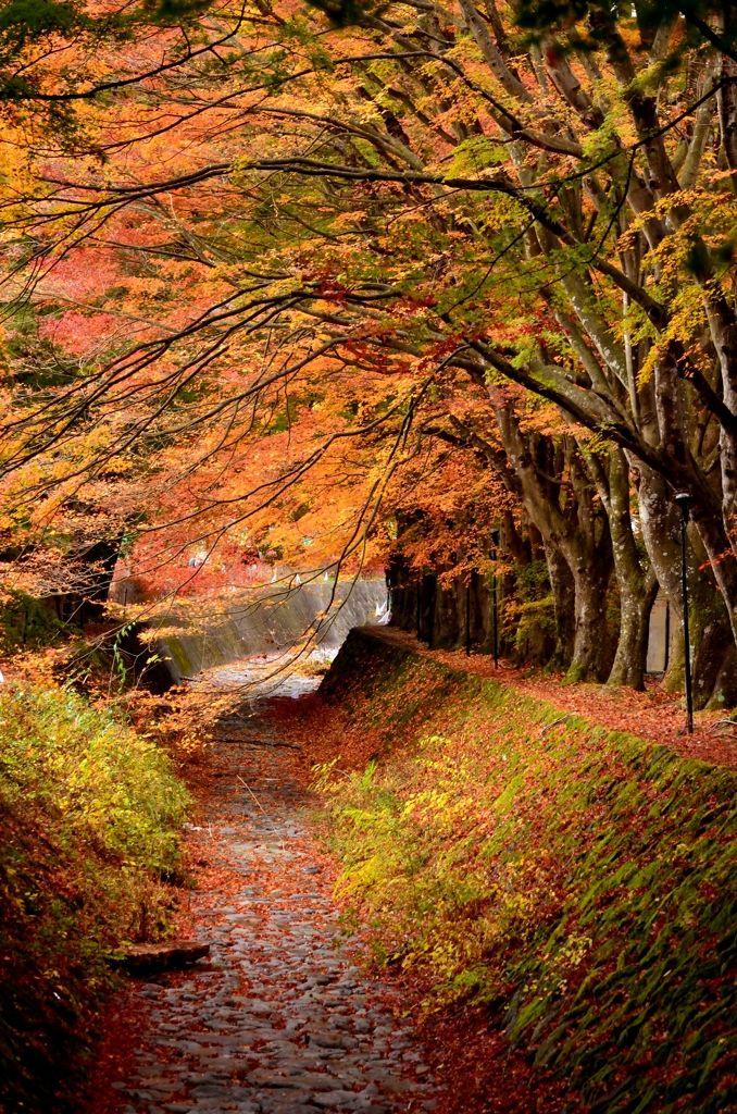 Maple trees, Yamanashi, Japan もみじ回廊