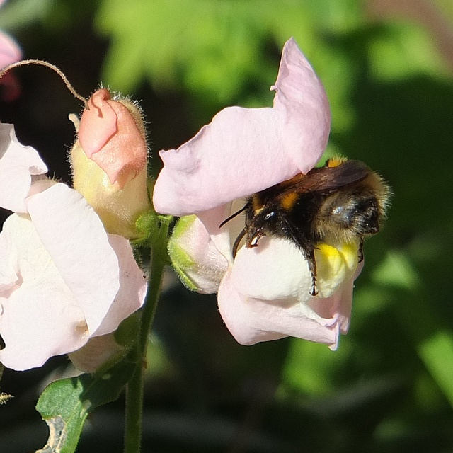 Bee on snapdragon_0001.jpg, via Flickr.