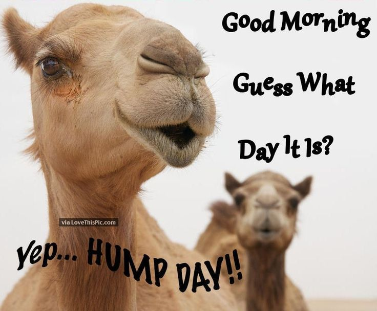 Good Morning Guess What Day It Is. Yep Hump Day! Funny Wednesday QuotesWednesday  ...