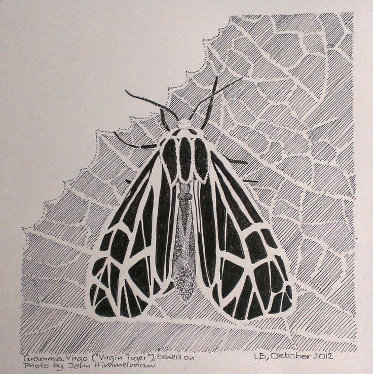 Grammia Virgo. October, 2012. Indian ink on paper. A4