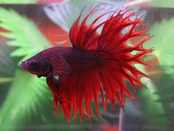 45 best preciosos mis peces images on pinterest for Betta fish training
