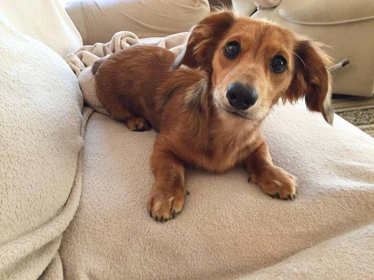 @RemiTheHotdog on Insta. Cute red, tan, black, brown and white dapple dachshund …  – Dachshund gifts