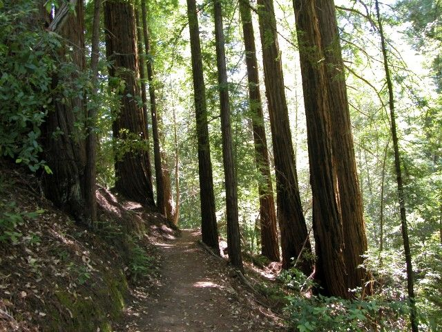 Redwoods <i>(Sequoia sempervirens)</i>