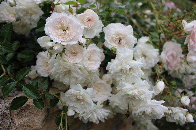 Sea foam est un bel exemple: voilà un rosier que j'ai planté l'an dernier et qui me comble totalement. C'est un couvre sol extra, d'une vigueur incroyable et d'une telle douceur! En dépit des averses, ses fleurs sont sublimes! Notre jardin secret...