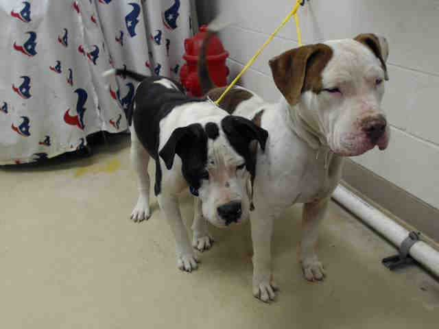 12/03/16-HOUSTON FACILITY OVER CAPACITY - ALL ANIMALS ARE SUPER URGENT - FLACO - ID#A473272 My name is FLACO I am a male, black and white American Bulldog and Pit Bull Terrier. My age is unknown. I have been at the shelter since Nov 30, 2016. This information was refreshed 25 minutes ago and may not represent all of the animals at the Harris County Public Health and Environmental Services.