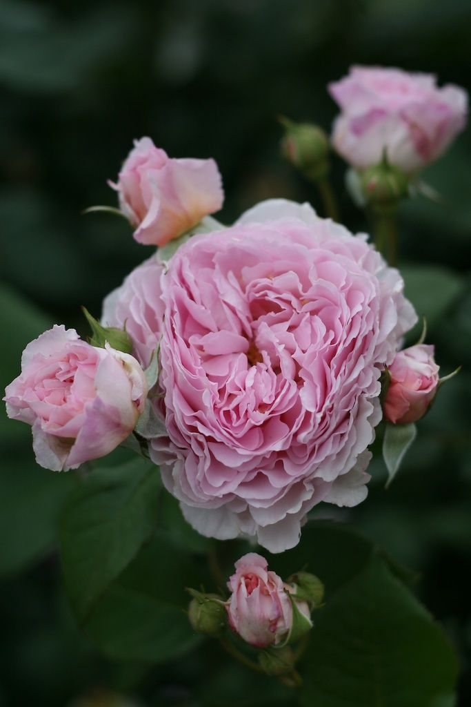 'James Galway' roses